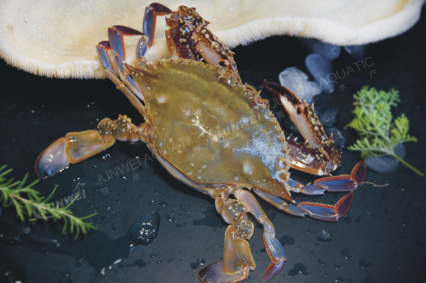 冻梭子蟹系列