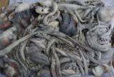 3.Argentine Shortfin Squid